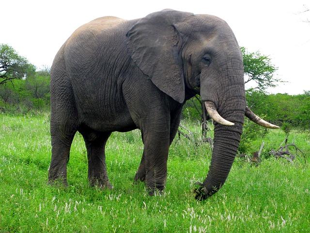 Gajah Elephant Efalia